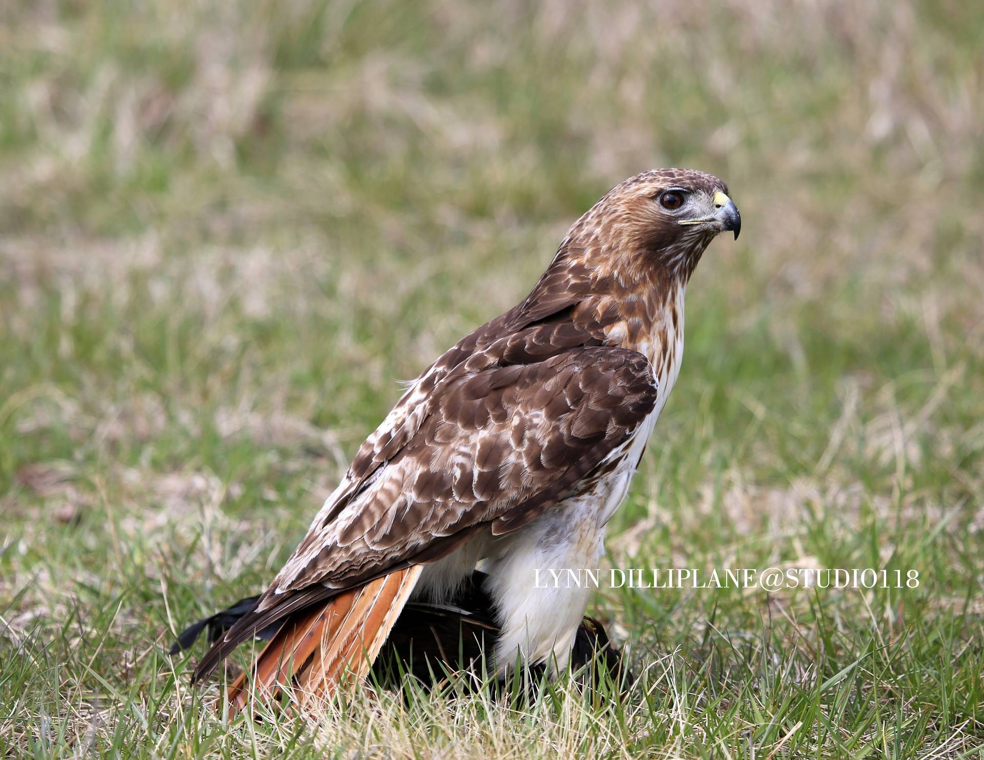 Redtail Lunch