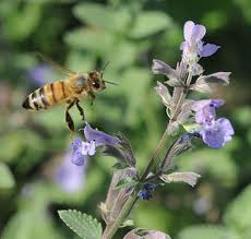 Bee on cat mint