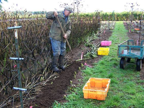 Loosening the dirt around the tubers