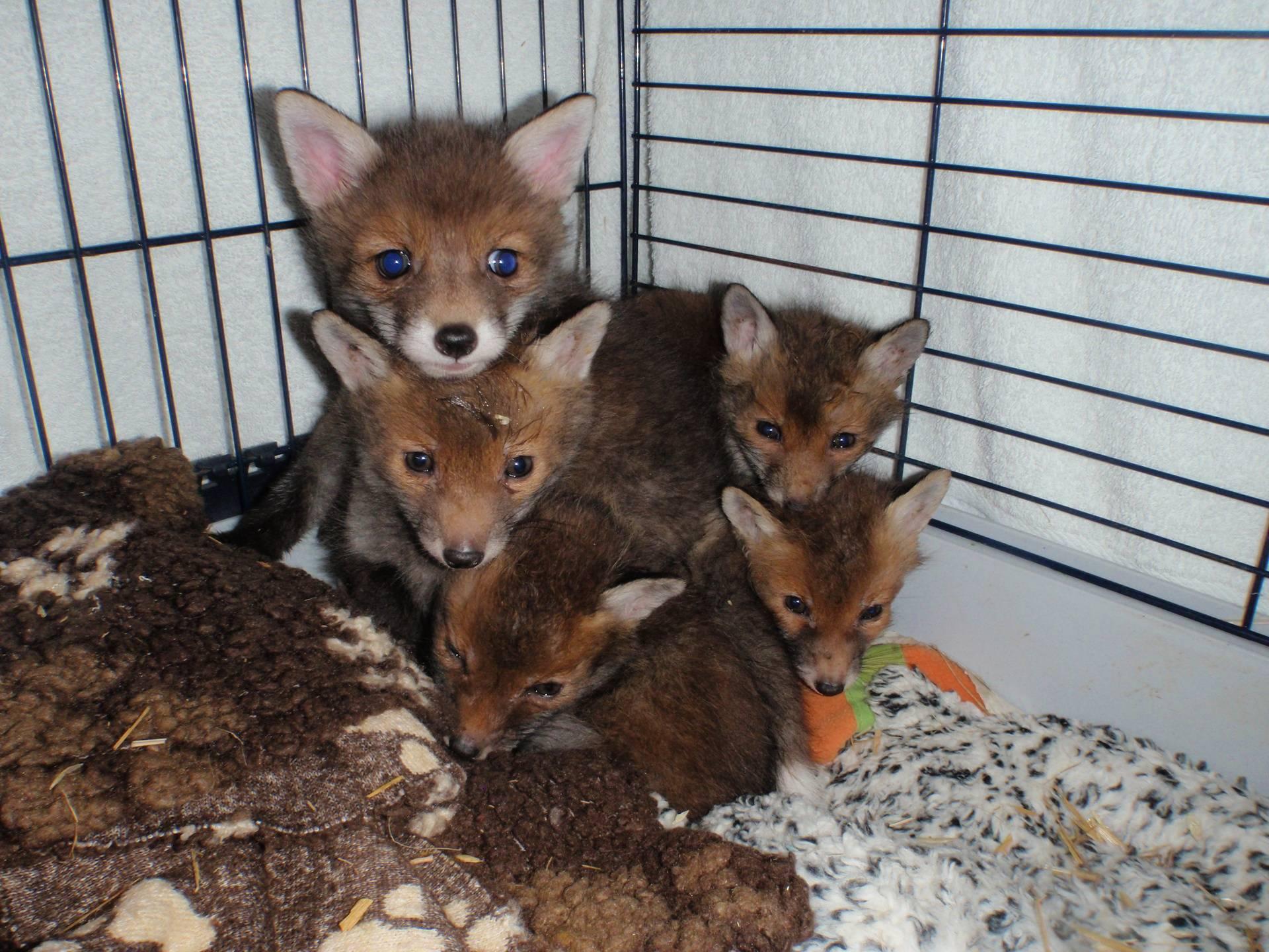 Orphaned Fox Cubs