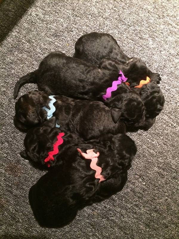 Every puppy gained between 0.5-1.0oz in the last 24 hours.  Red was the winner at 1.0oz gained.  2 days old.