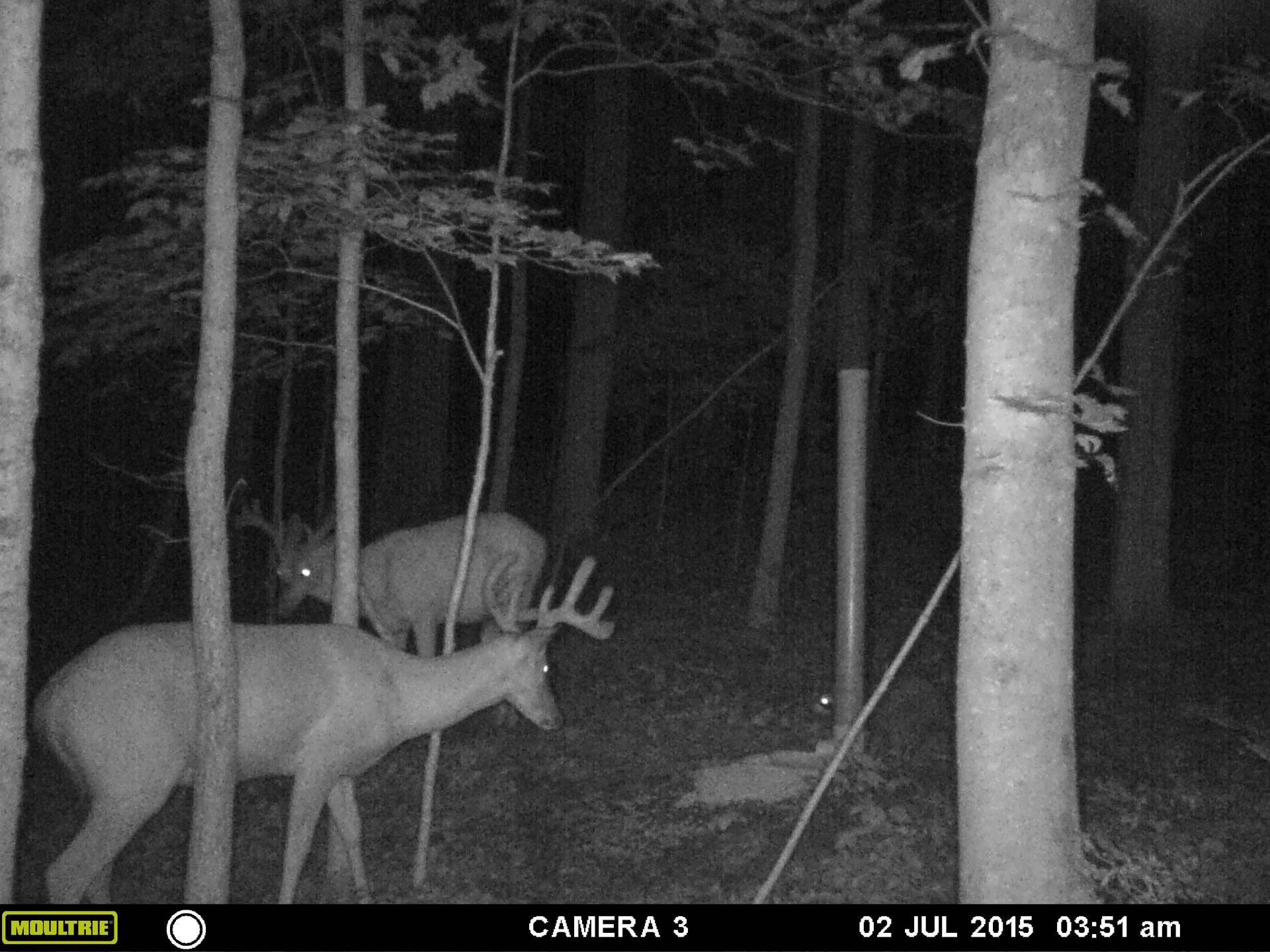 Two bucks at feeder