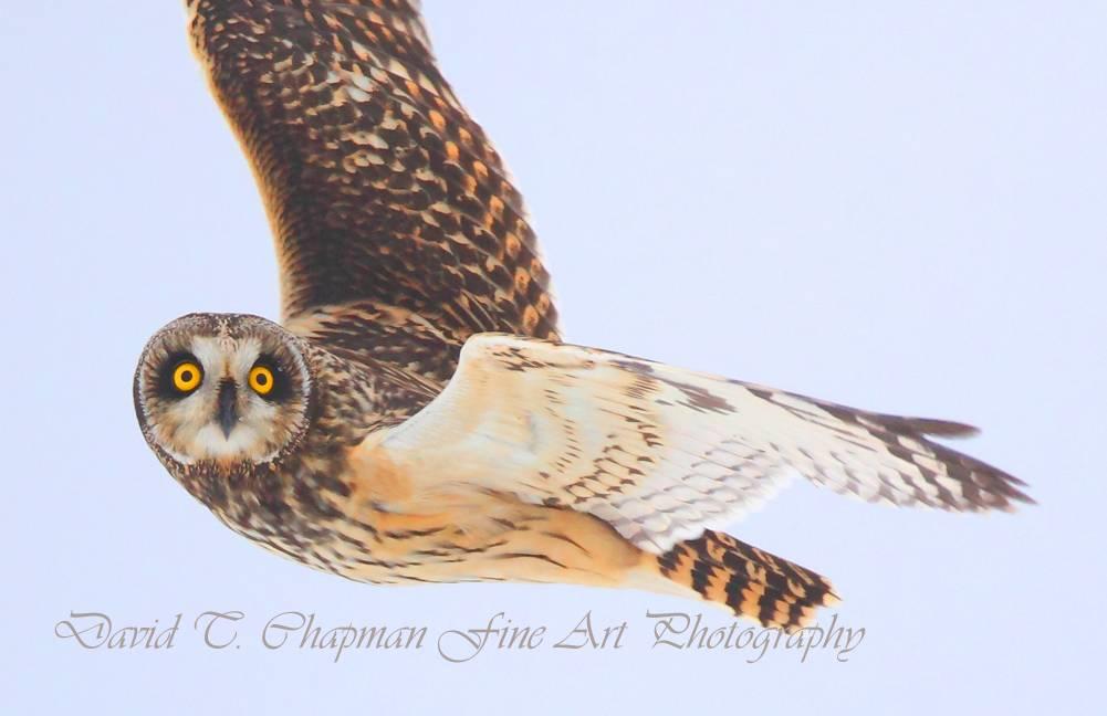 Focused Short Eared Owl