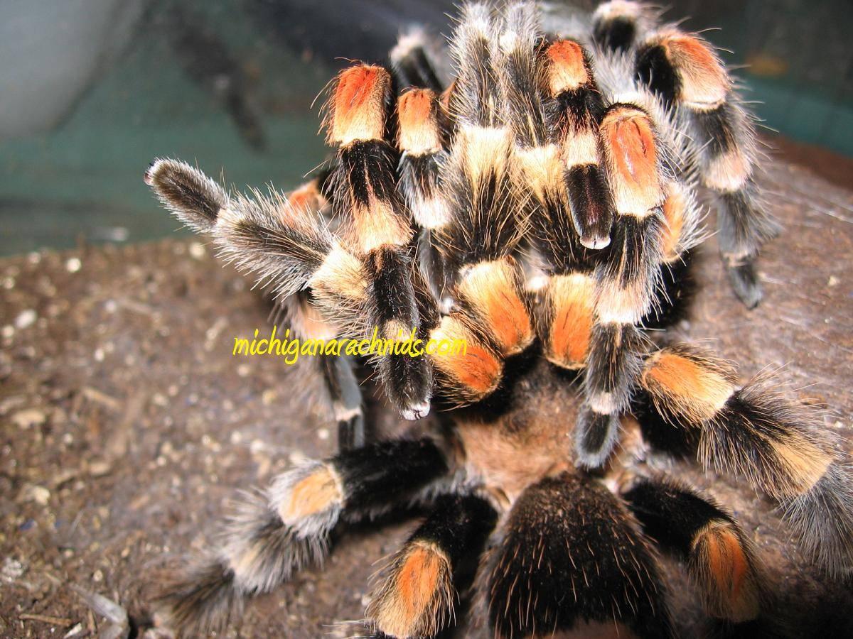 B.smithi breeding 2011 (3)