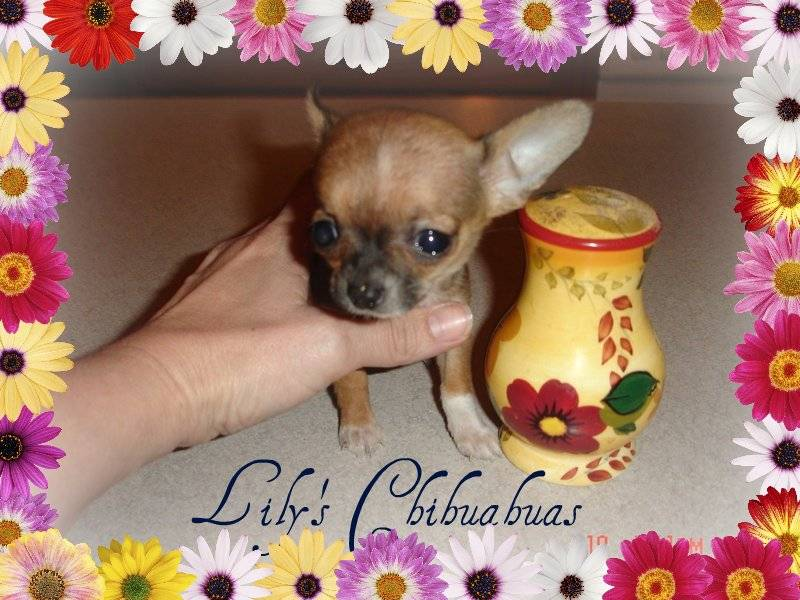 Tic Tac and Chalupa's baby sister to Chi Chi