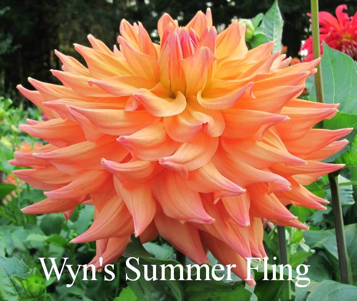 Wyn's Summer Fling AA SC LtBl Y/P SOLD OUT