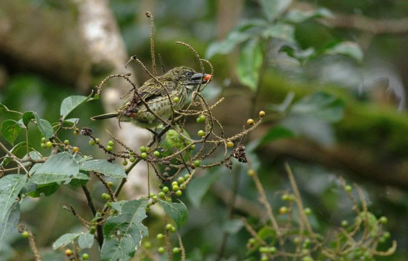 Speckled Tinkerbird