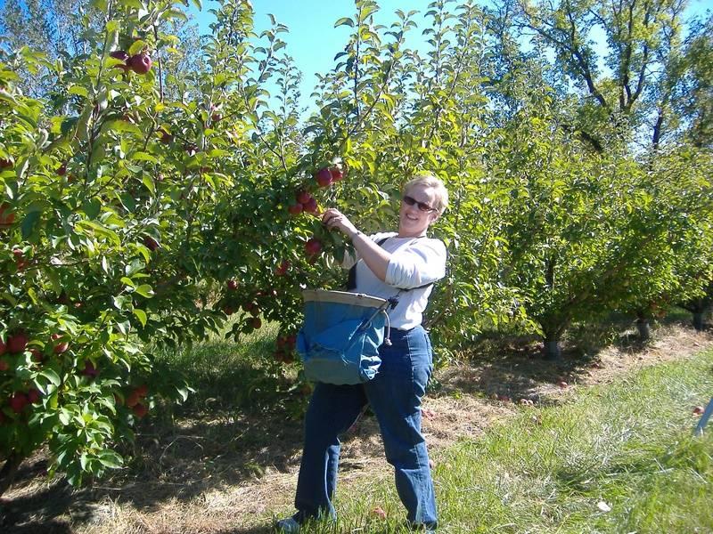 Brenda picking Regent apples
