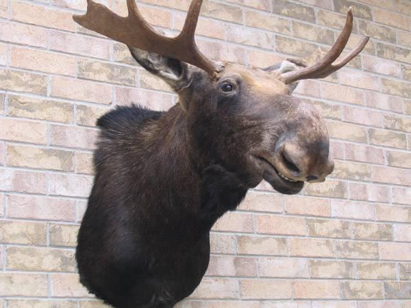 Eastern Full Shoulder Moose