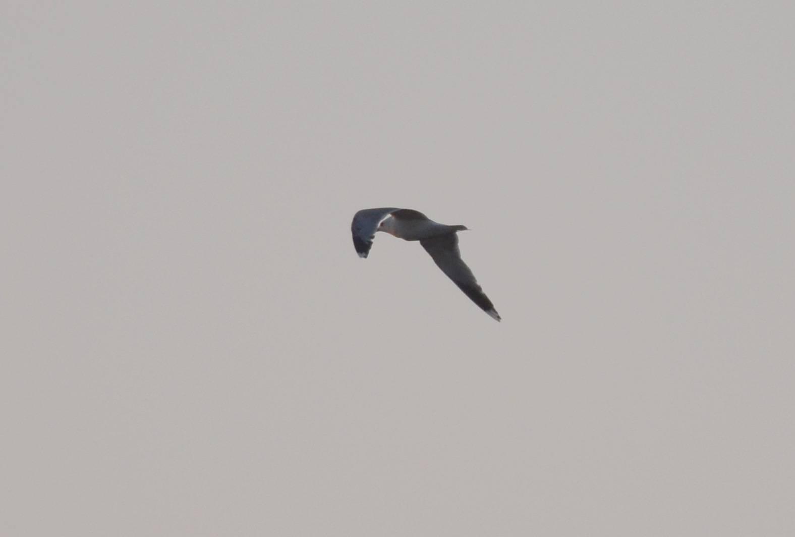 Common Gull  (GOELAND CENDRE)