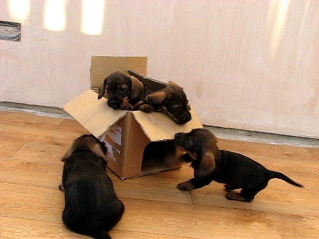 4 pups in box