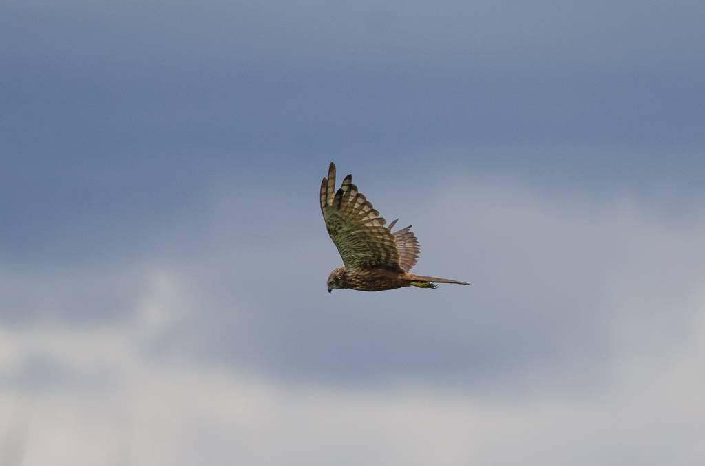 African Marsh Harrier