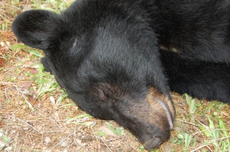 """Nechako"" the Black Bear"
