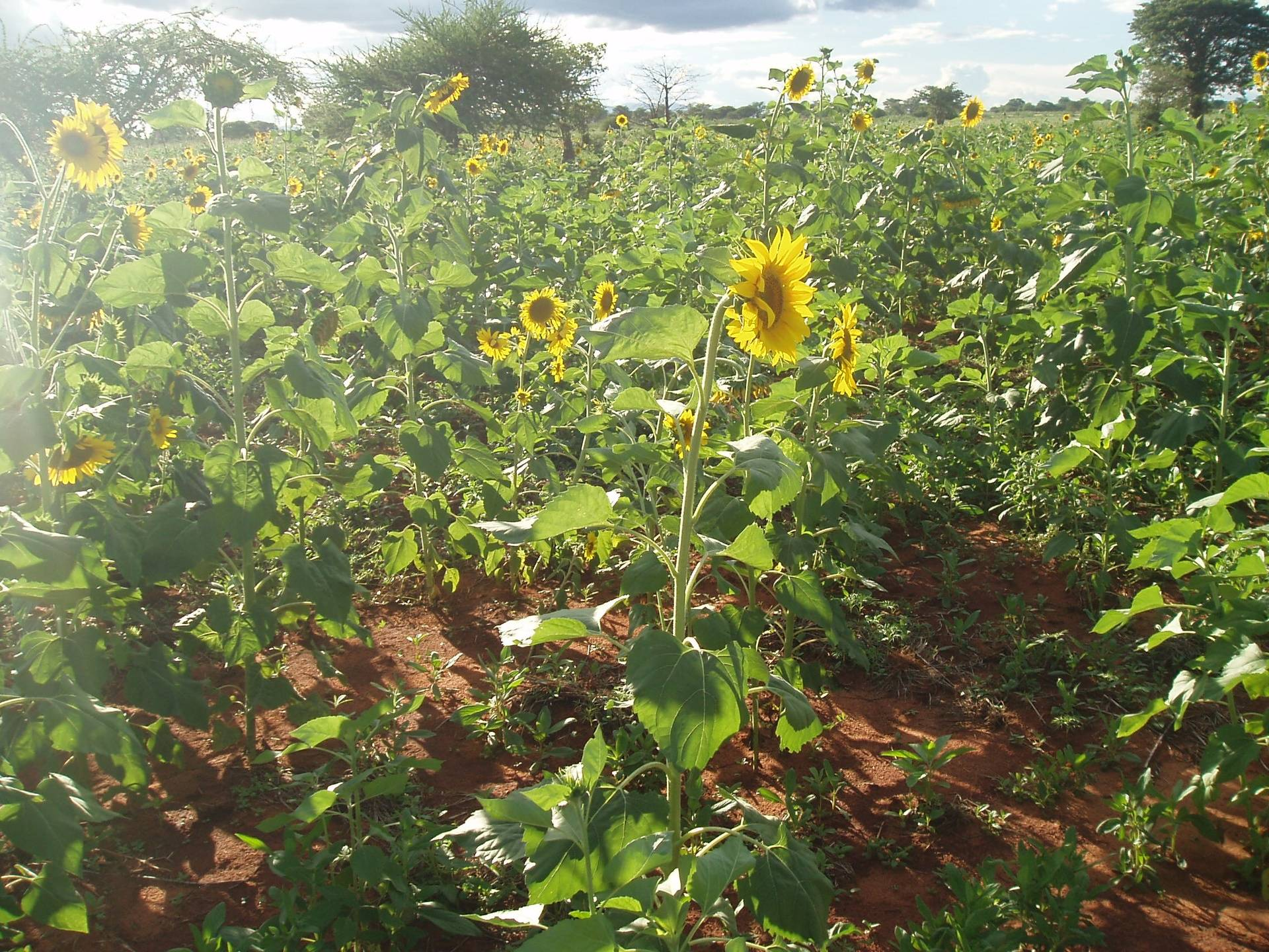 College Sunflower shamba