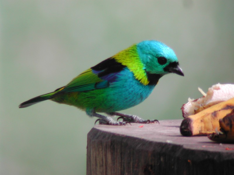 Green-headed Tanager  (Calliste à tête verte)