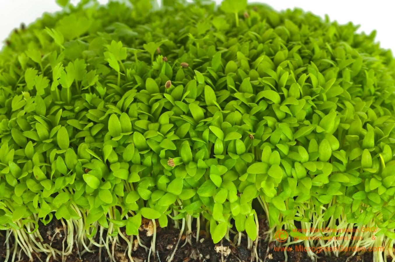 CELERY microgreens, 4 weeks since sown; true leaves emerging