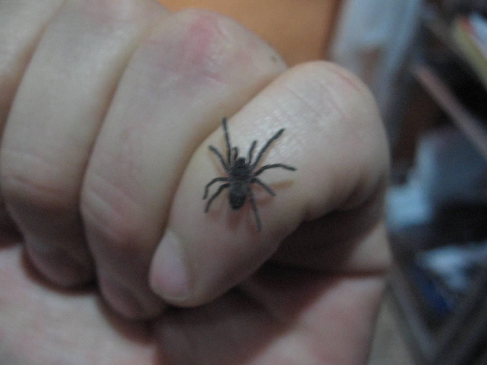 Chilobrachys sp. guangxiensis 2012