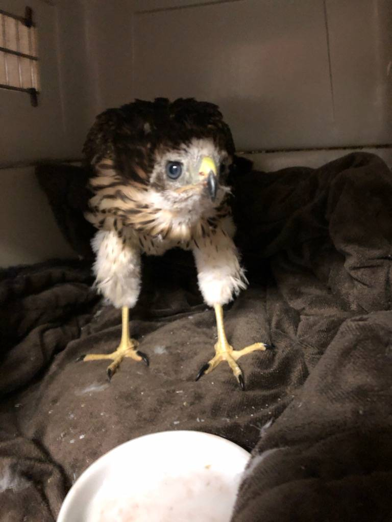Baby Broad-winged Hawk