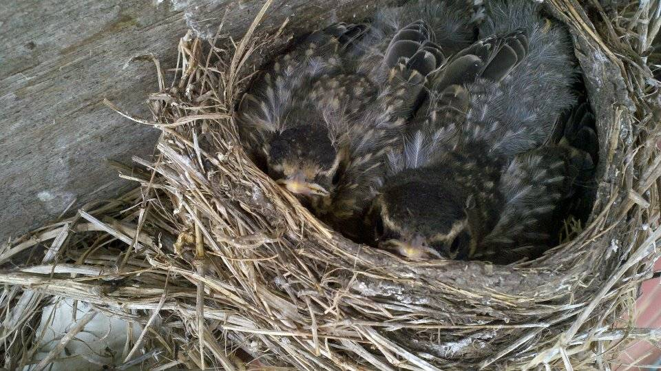 Feathered Baby Birds
