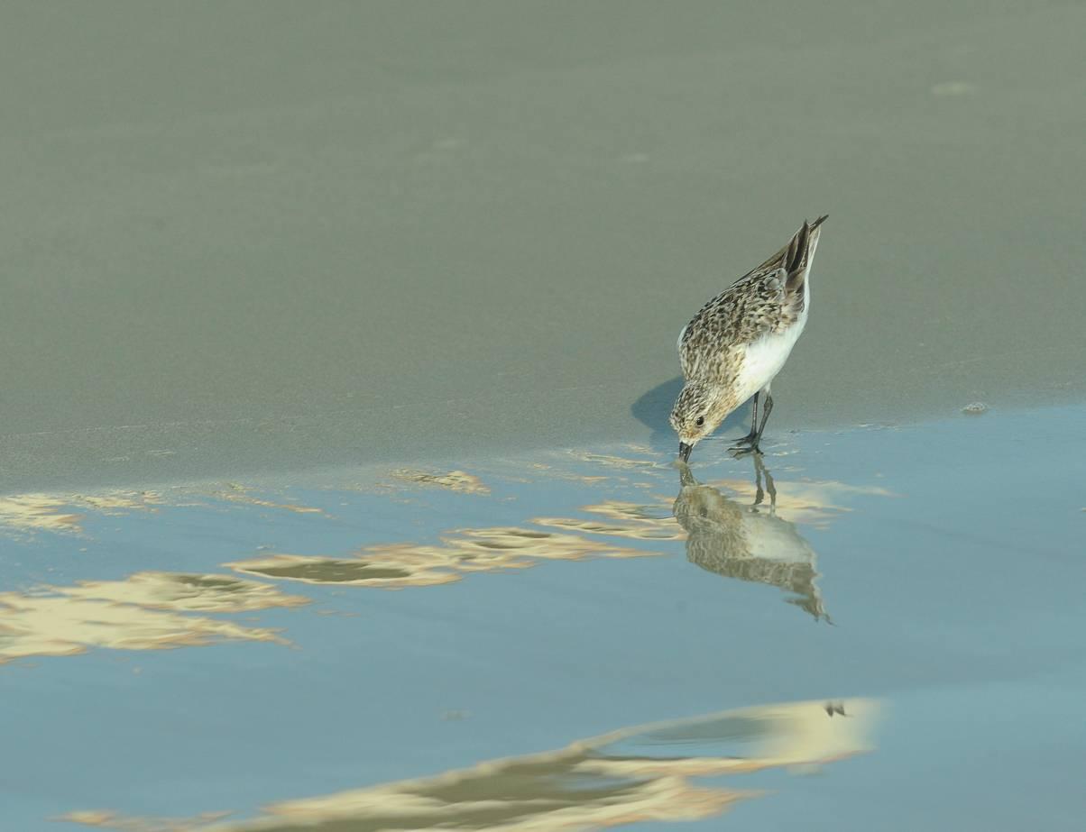 Bécasseau sanderling - sSnderling