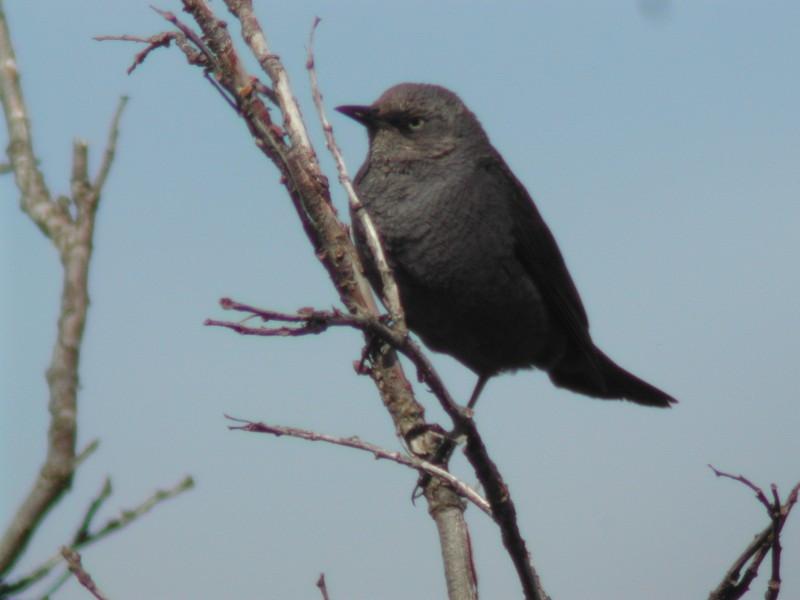 Rusty Blackbird  (Quiscale rouilleux)
