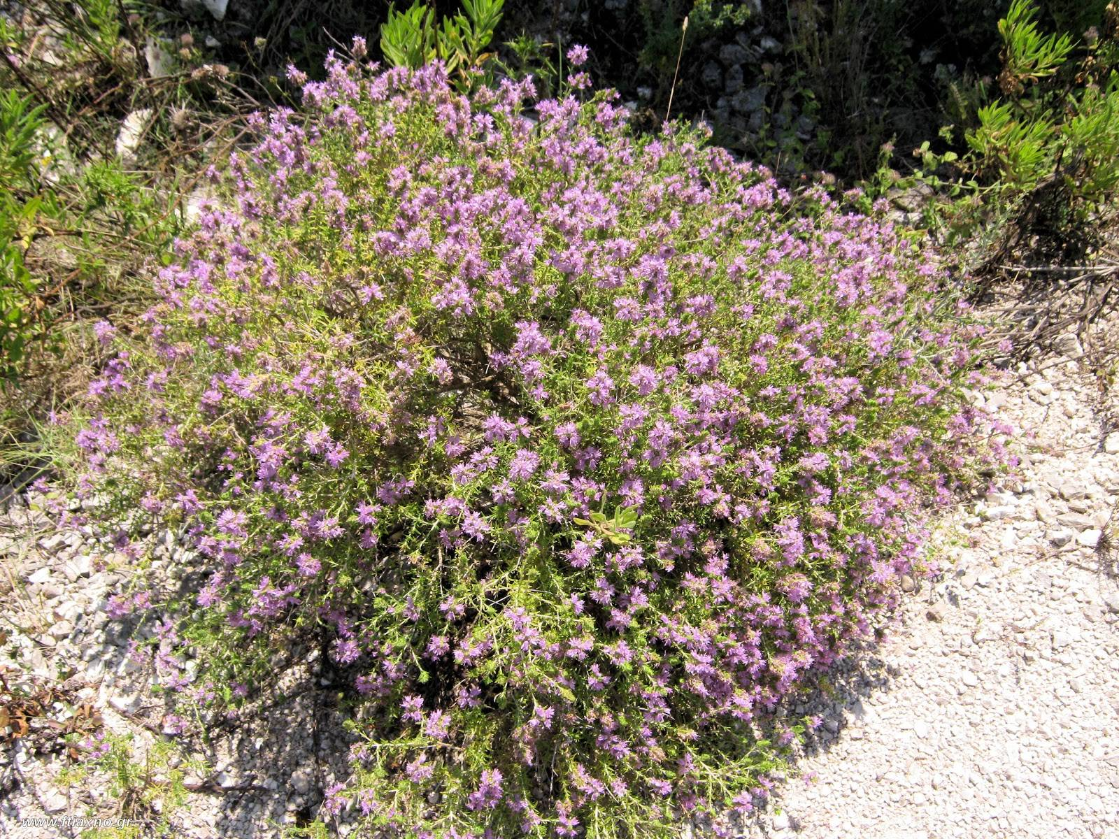 Thyme fro courage
