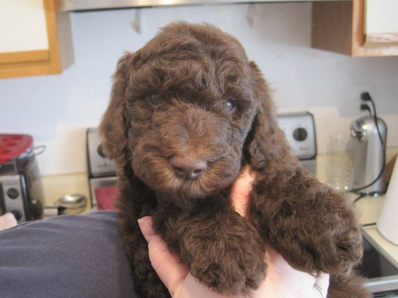 Truffles after his bath and before his first grooming.  5.5 weeks old.
