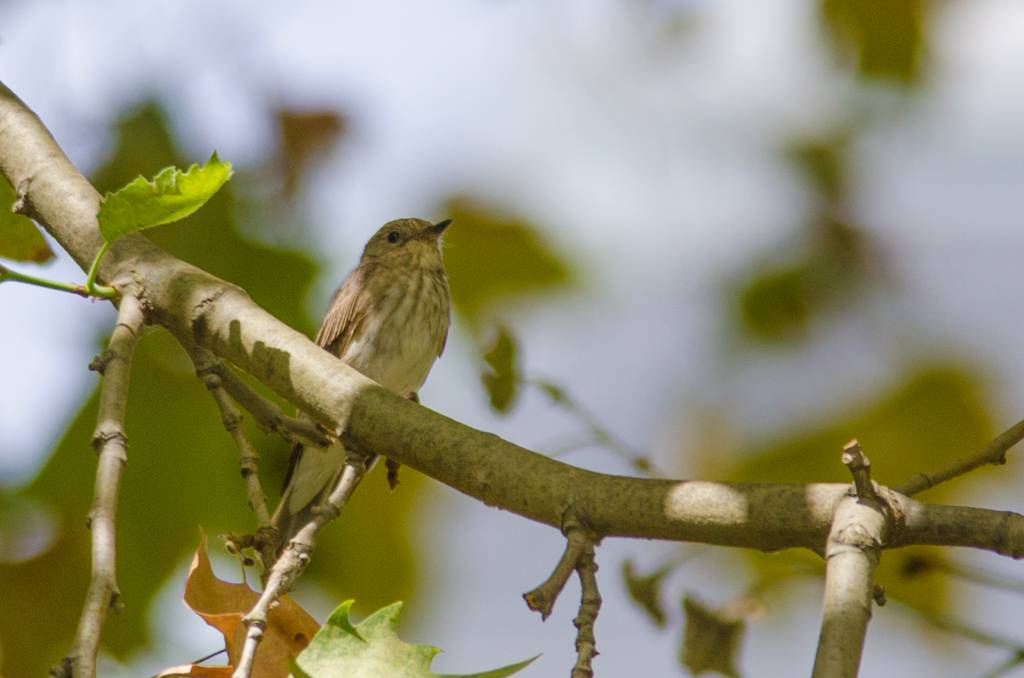 Spotted Flycatcher (Gobemouche gris)