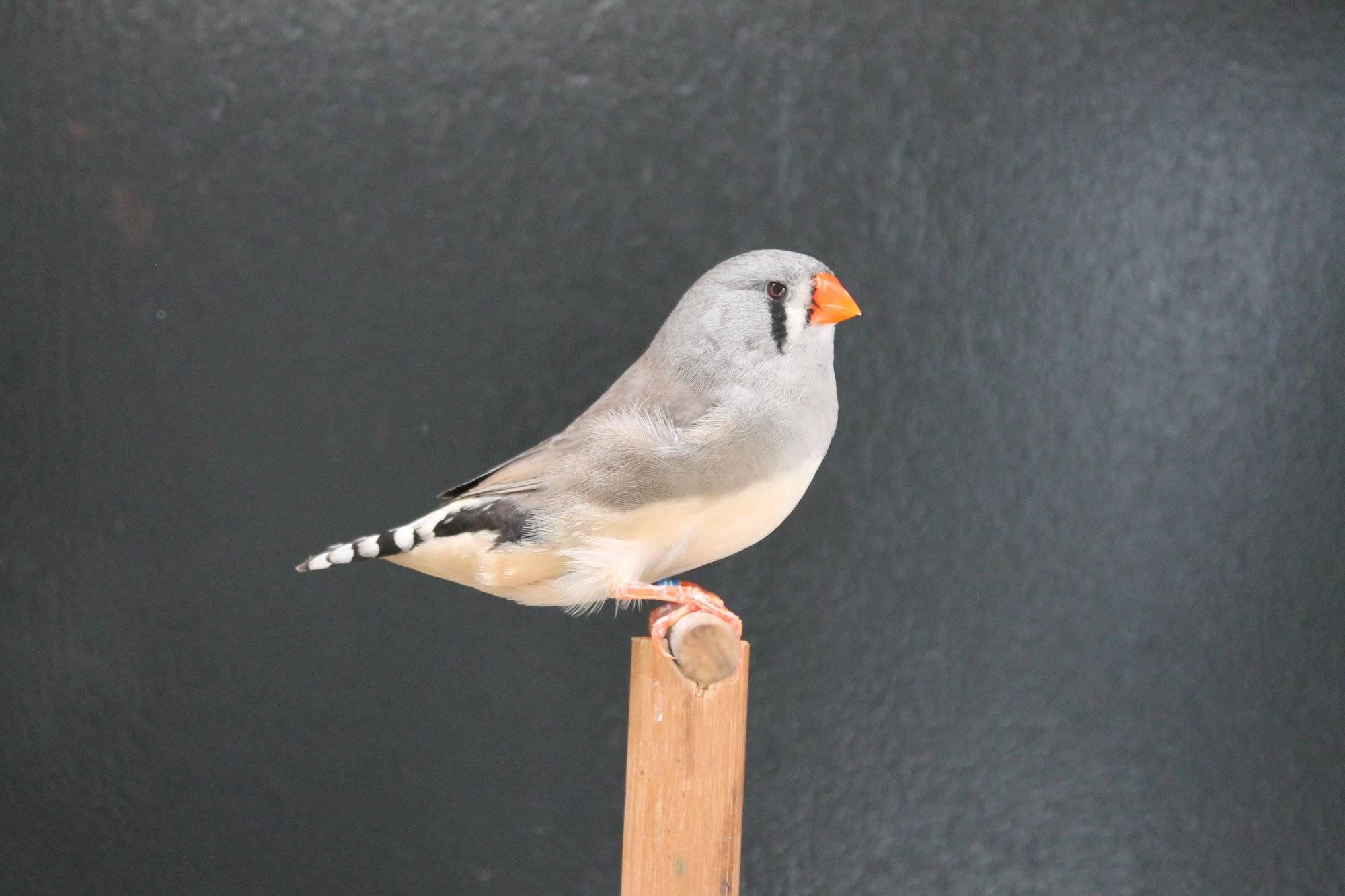 Champion Grey Hen