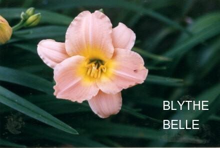 BLYTH BELLE  $5