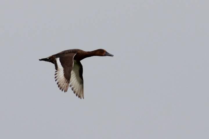 Ferruginous Duck  -  FULIGULE NYROCA