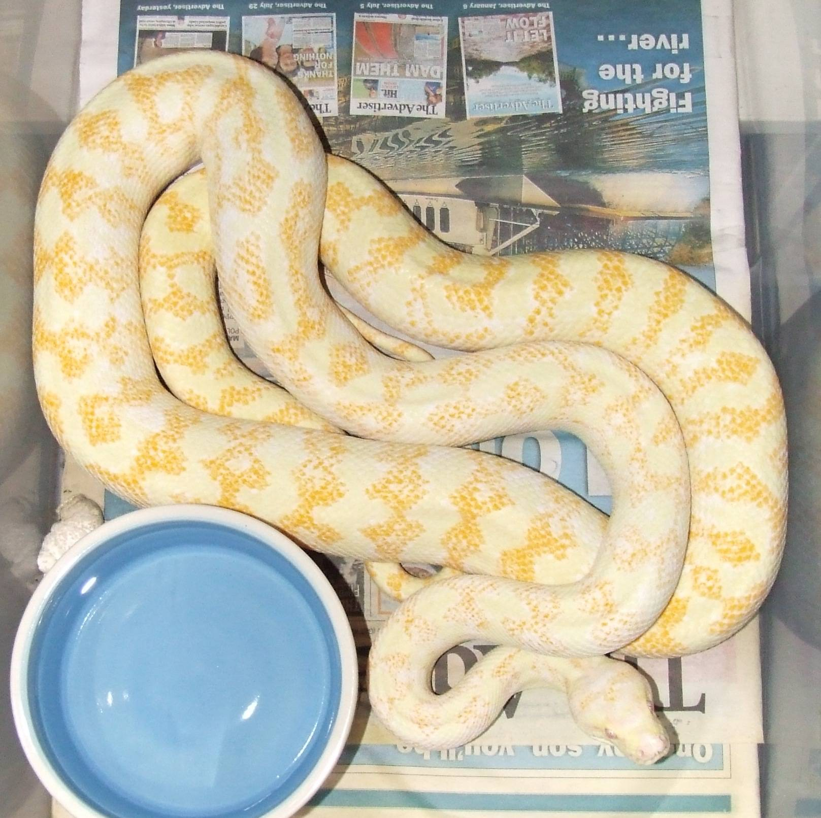 Darwin carpet Albino - Female #1