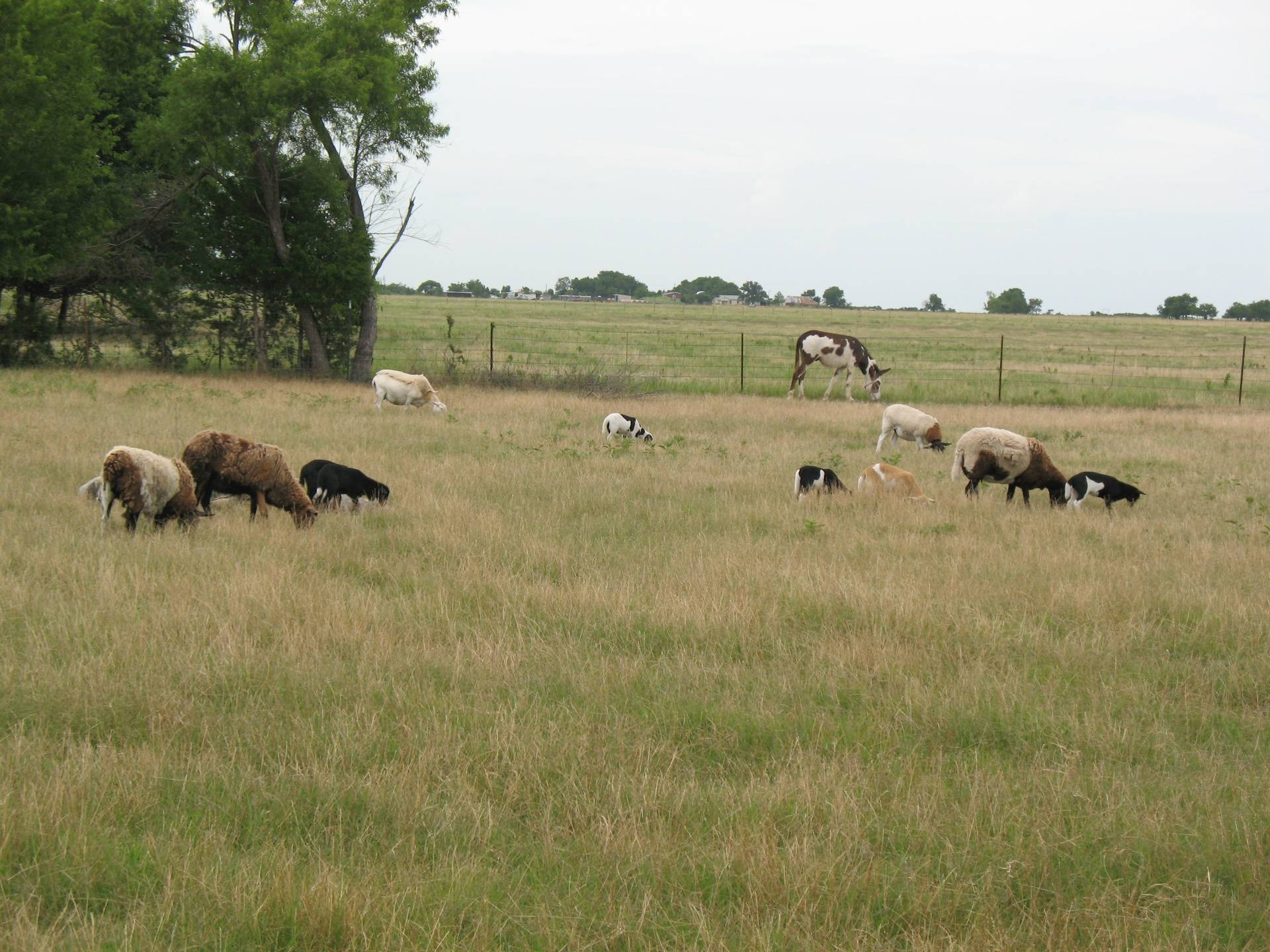 Our small flock grazing