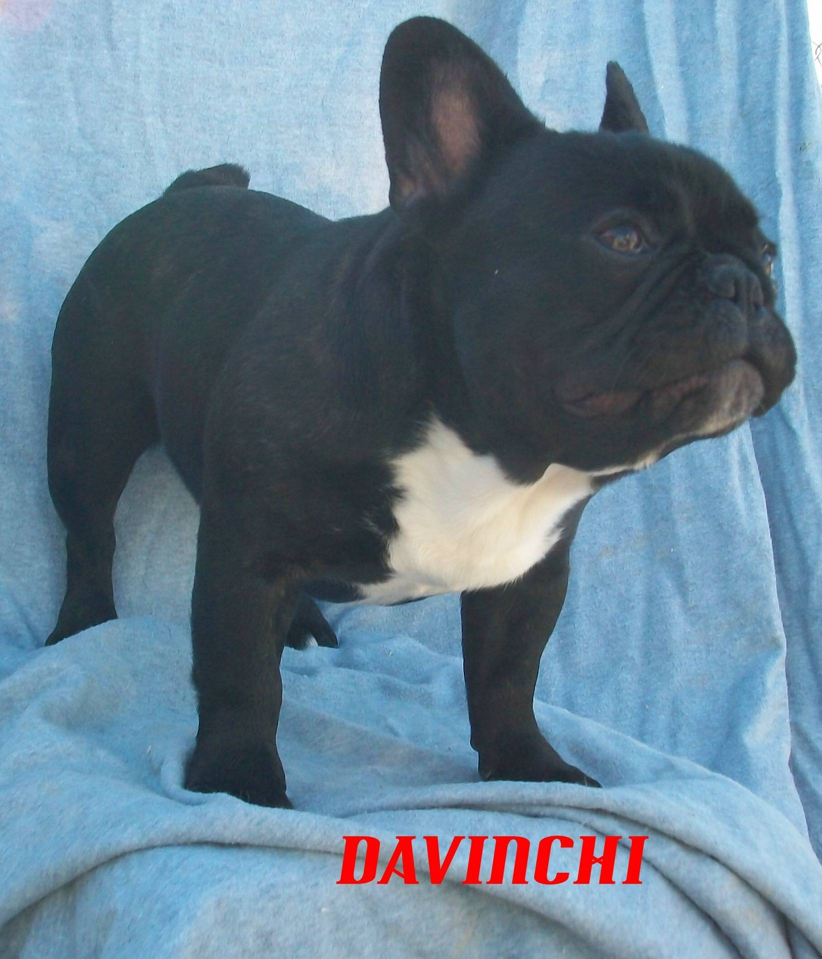 JR CH Blu-Choc Butterball Davinchi Not Breeding SORRY DUE TO CONGENITAL  HEART DEFECTS WE ARE CHOOSING NOT TO USE THIS MALE AS A STUD