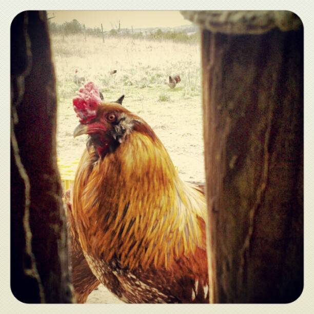 Regal Rooster
