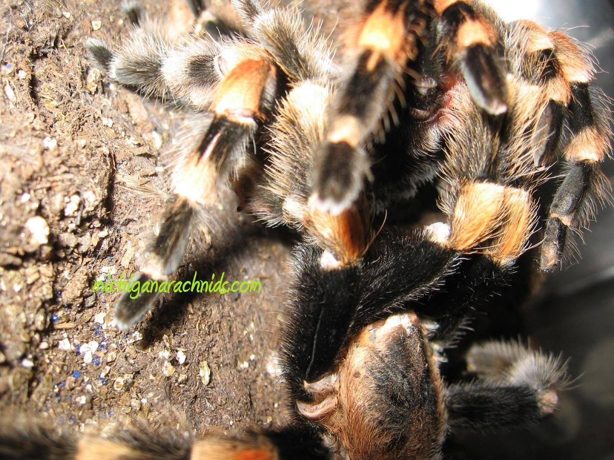 B.smithi breeding 2011 (4)