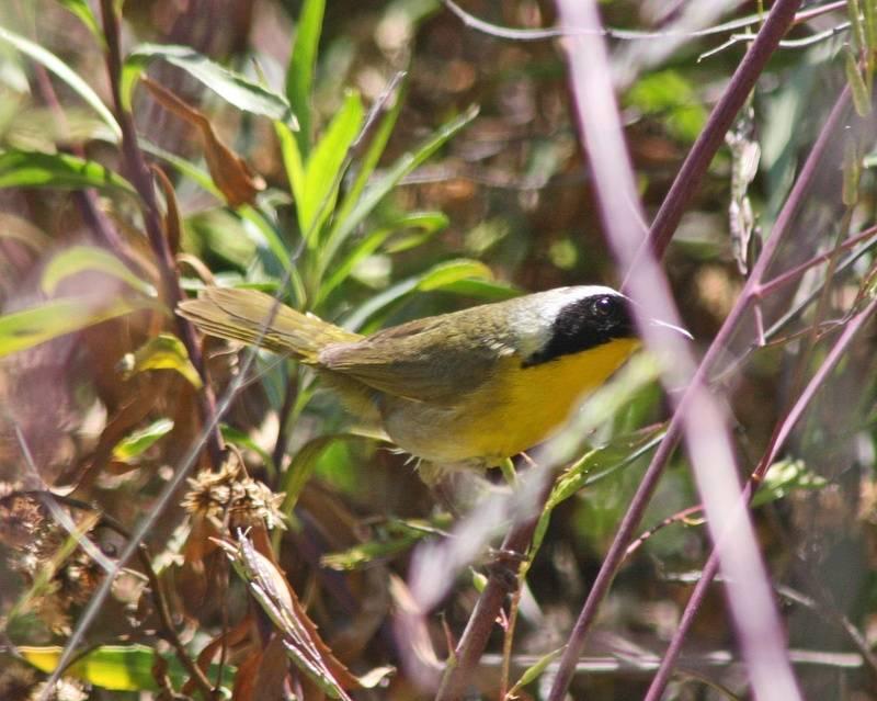 Common Yellowthroat (m)