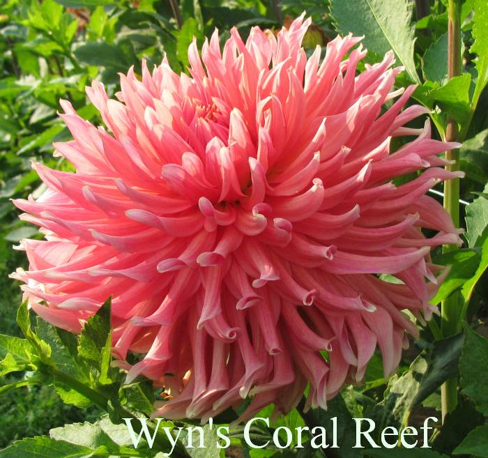 Wyn's Coral Reef AA IC Pink