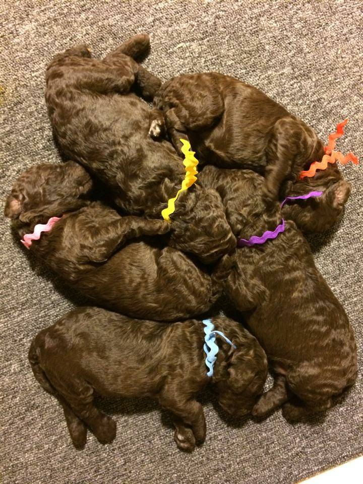 Everyone got a new collar today. They have all doubled in size since birth so they outgrew their collars.  10 days old.