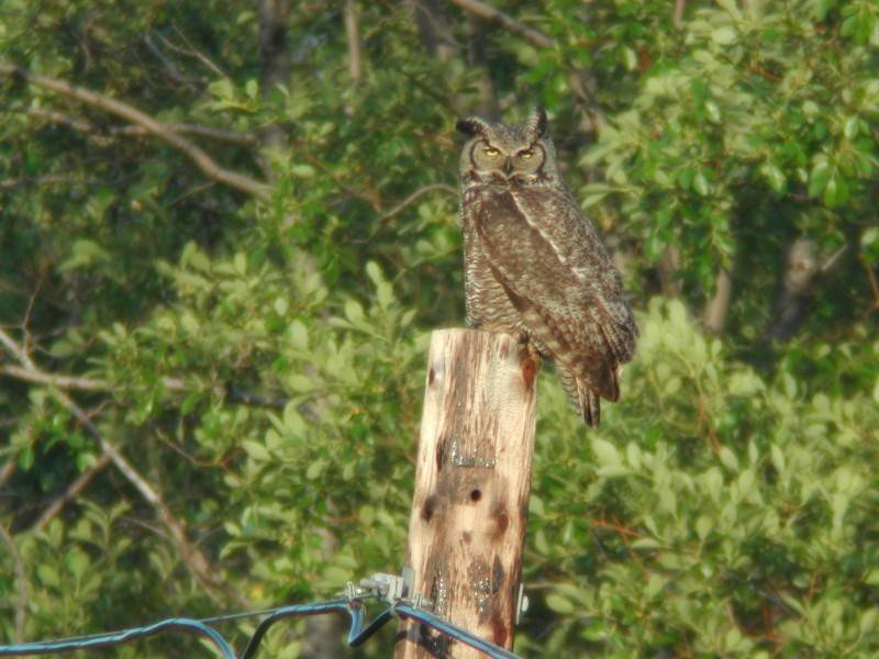 Great Horned Owl  (Grand-duc d'Amérique)