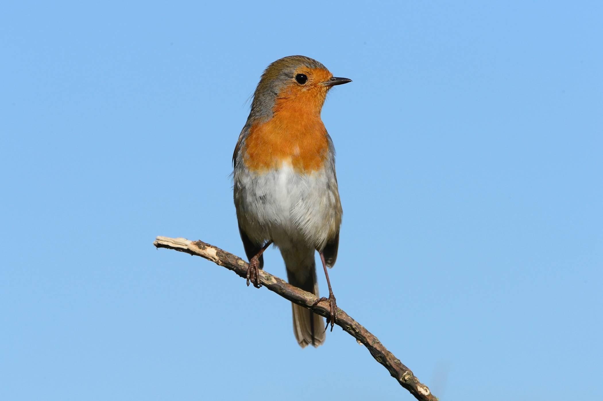 Rouge-gorge familier - Robin