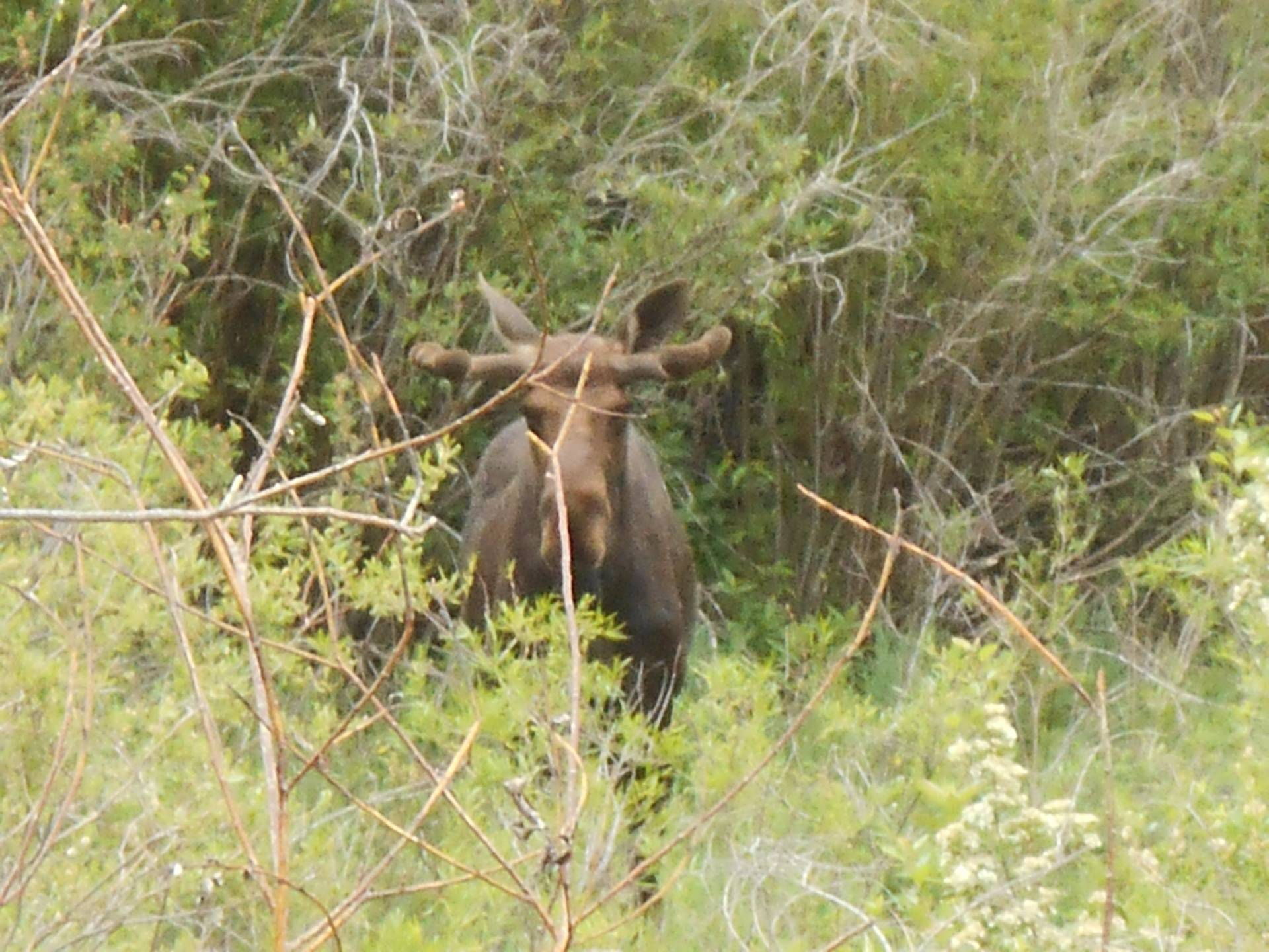 Moose on the way to Steamboat Sun