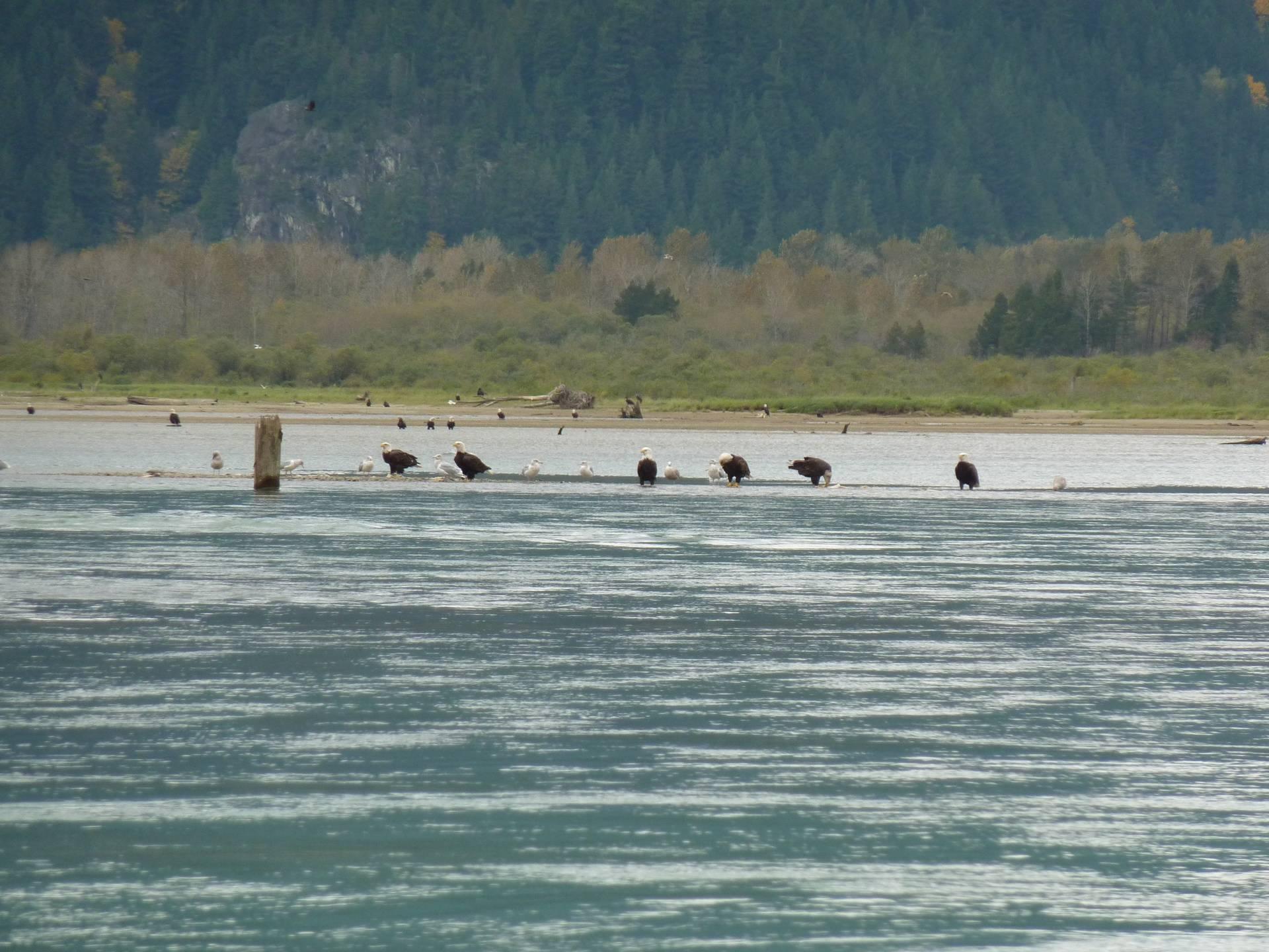 Eagles on the Fraser River