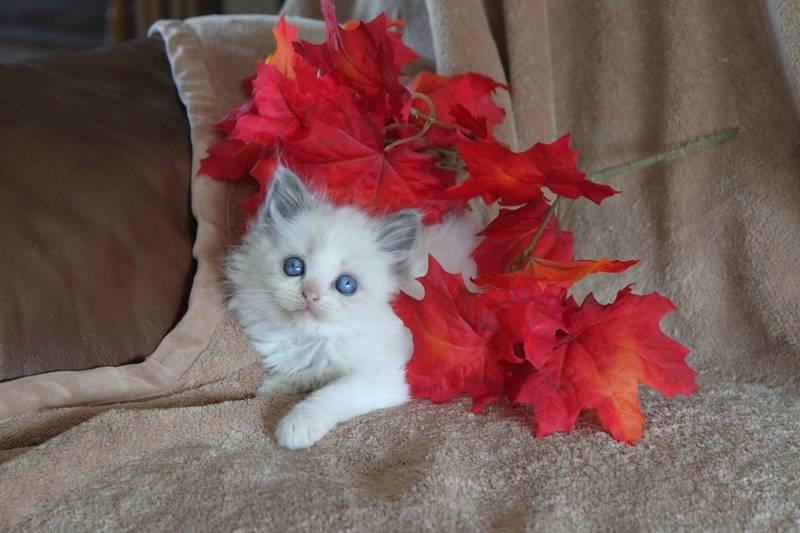 Blue Bicolor Baby