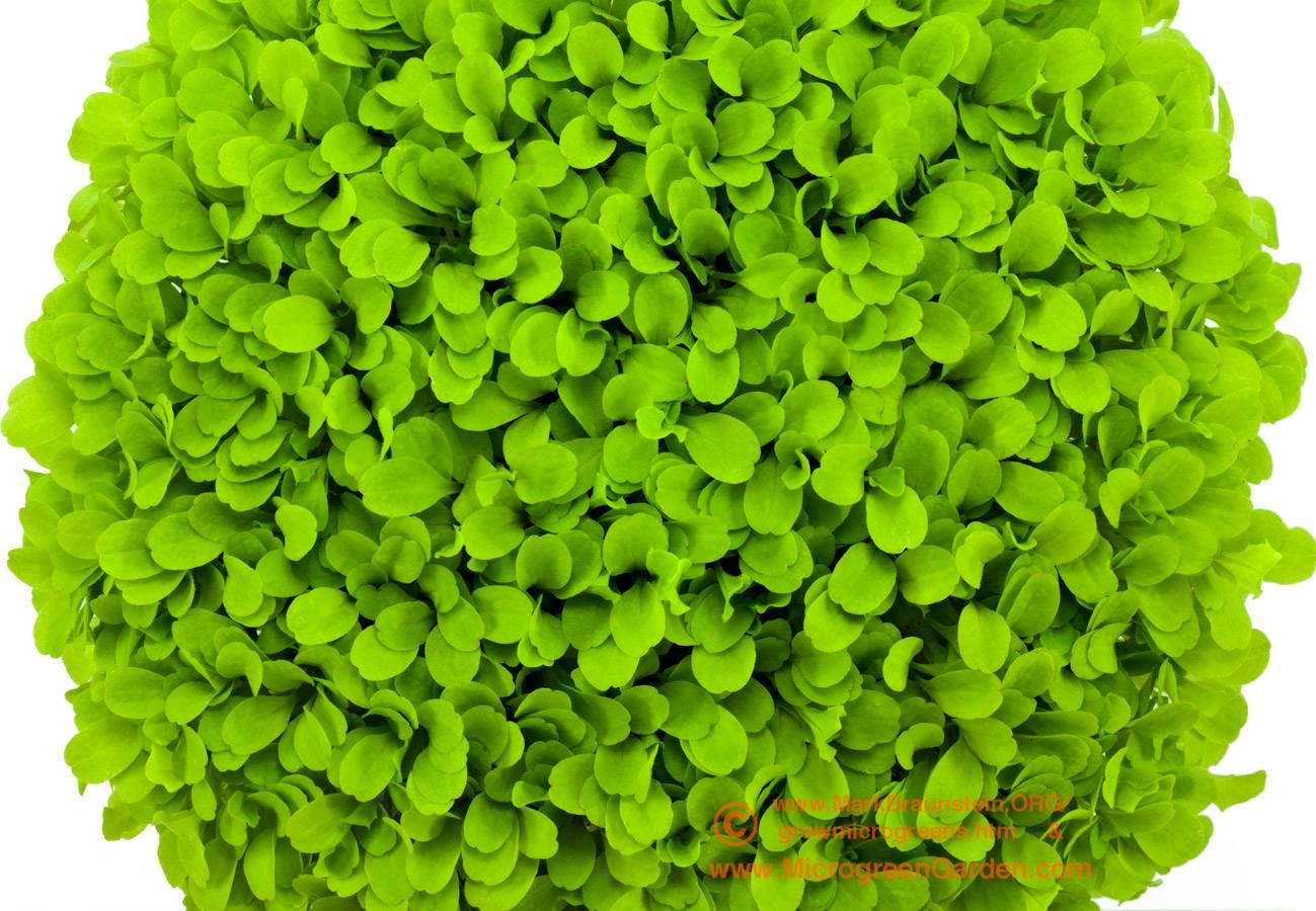 LETTUCE microgreens, Black Seeded Simpson, 2 weeks since sown