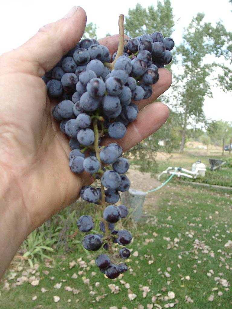 Our first harvest: Frontenac