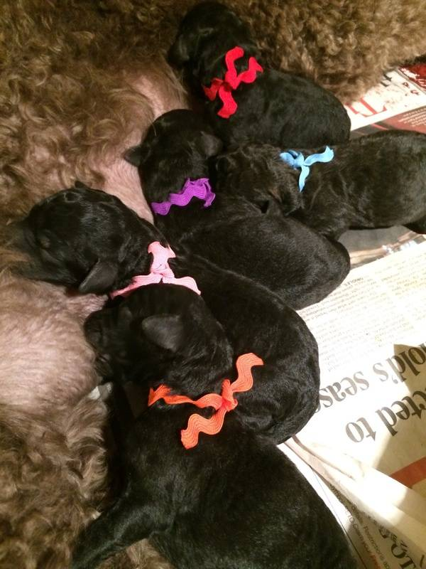 The puppies wearing their new fashionable collars so we can easily identify them.  The light blue collar is the boy, and all the rest are girls.  1 day old.