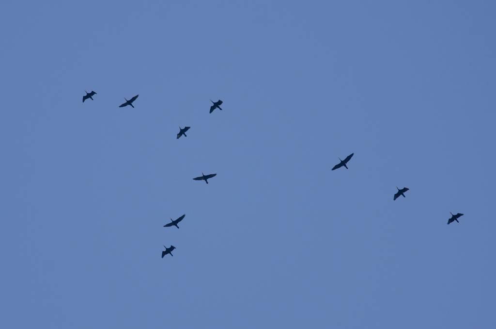 Cormorant (Grand cormoran)