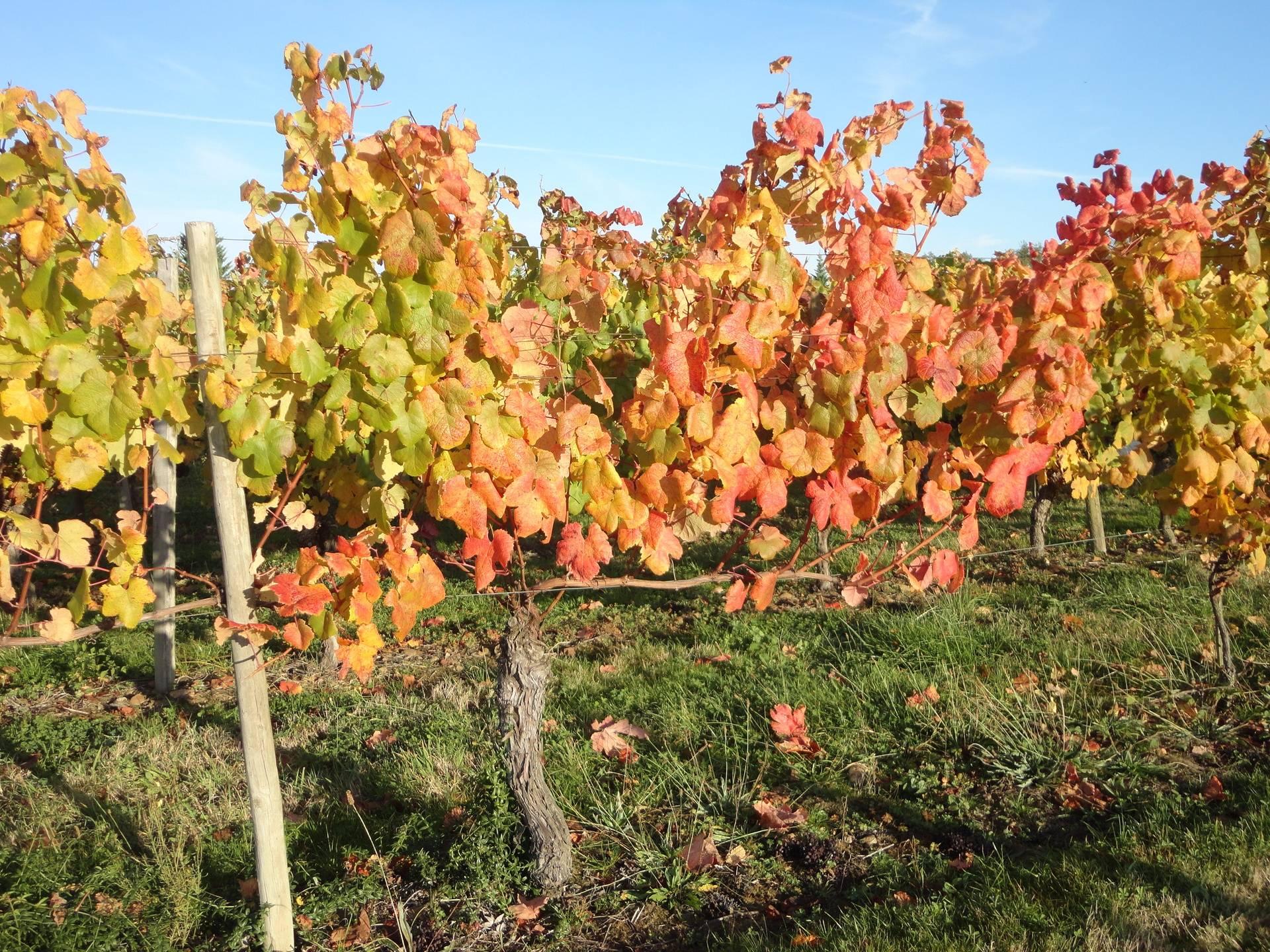 les vignobles sont magnifique en automne