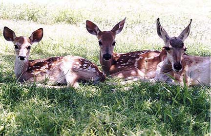 Mule and White-tailed Deer